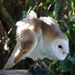 Bill the barn owl