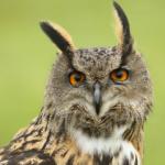 Daphne the eagle owl