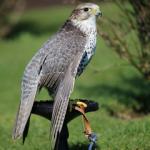 Stitch the hybrid falcon